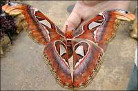 atlas_moth_1_470x312